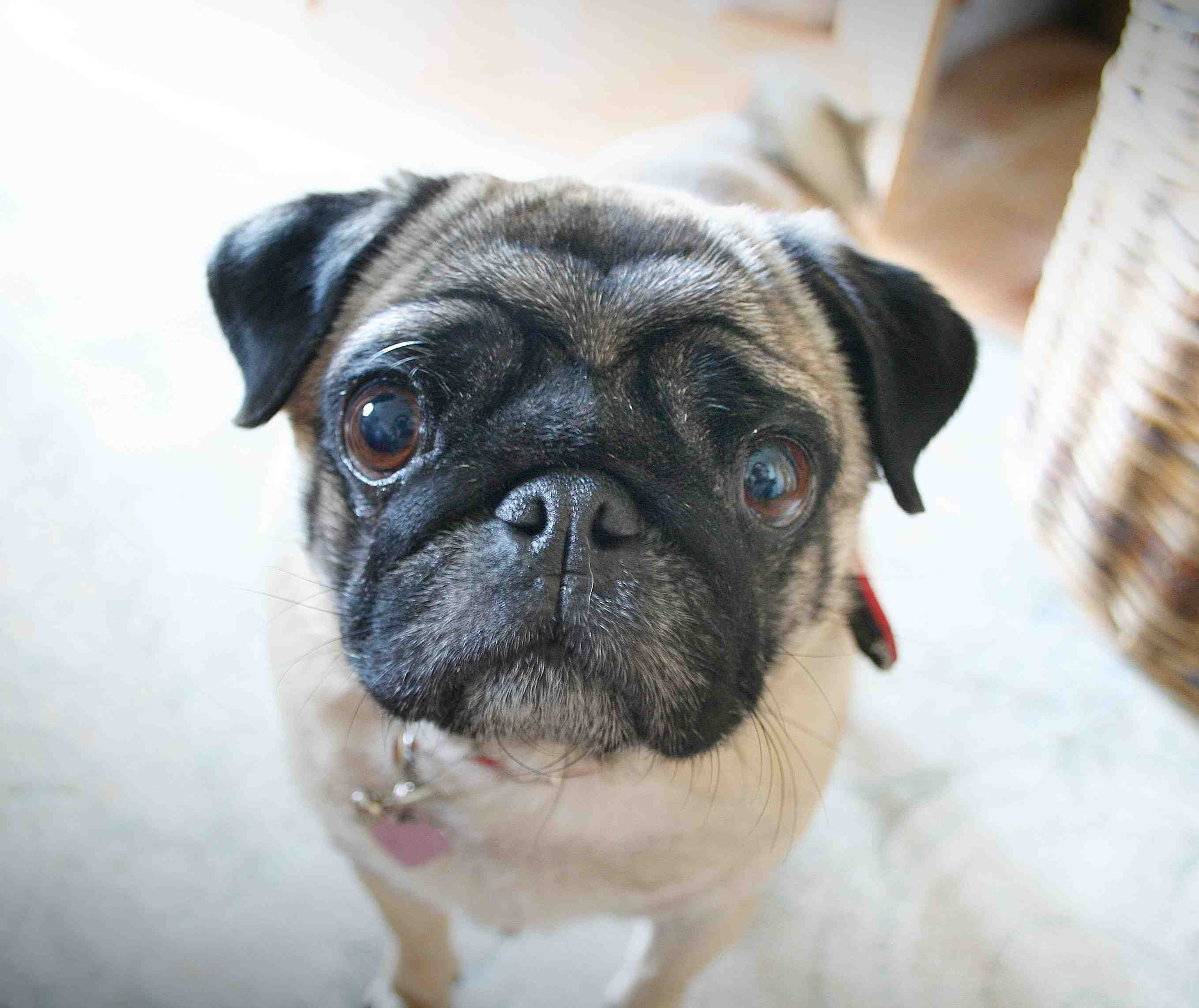 A pug's guide to dating waterstones