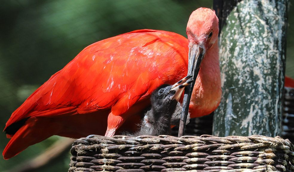 In the pink: scarlet birds have red letter day