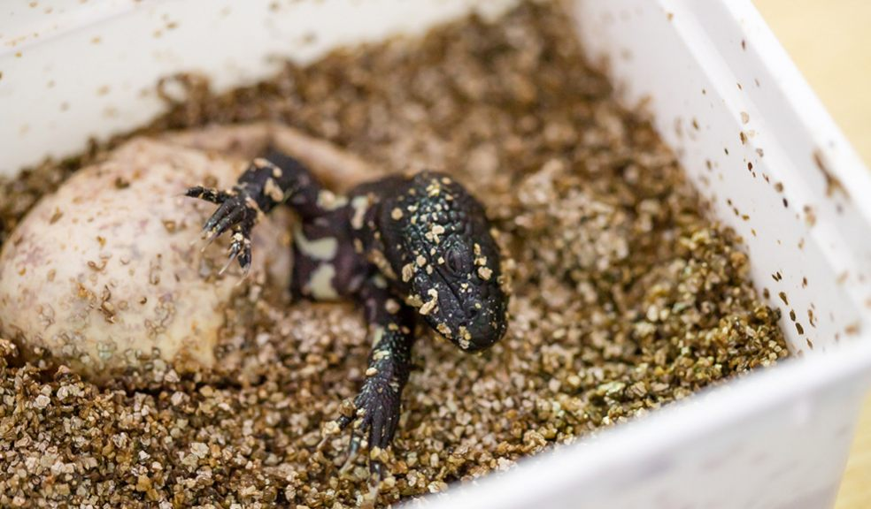 Paignton Zoo hatches Mexican beaded lizard