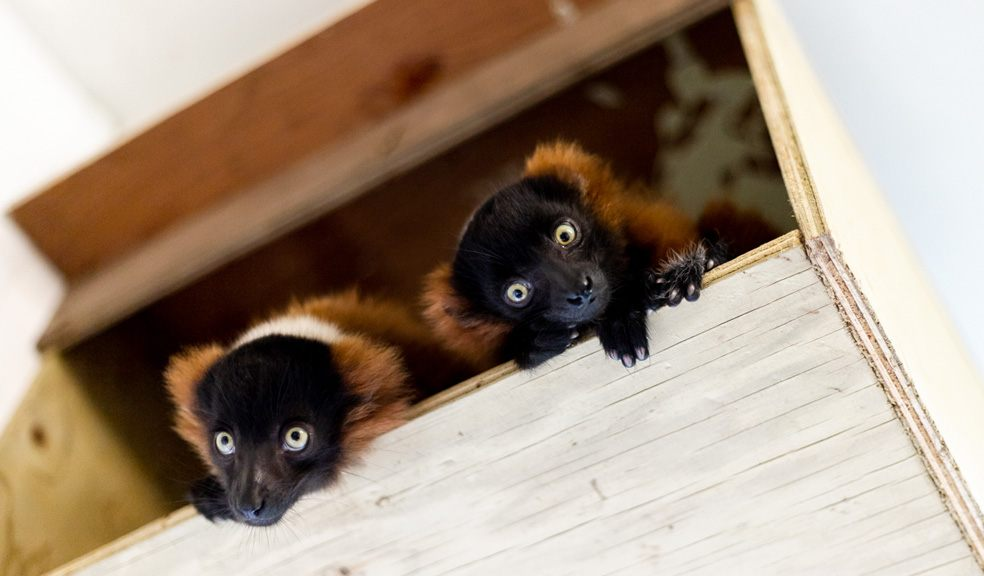 Critically Endangered red ruffed lemurs born at Paignton Zoo