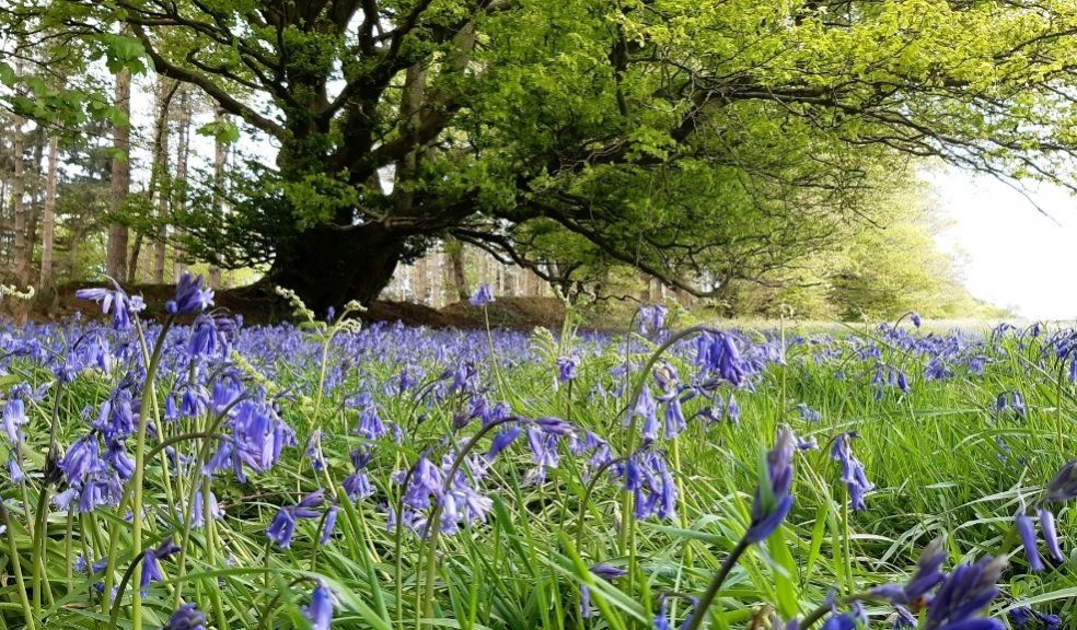 A field of bluebells with a large beech tree in the background