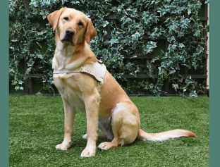 Yellow Lab Gucci sits on the grass in front of a wall of ivy with her white harness on.