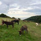 Pastures new for Devon's roaming donkeys
