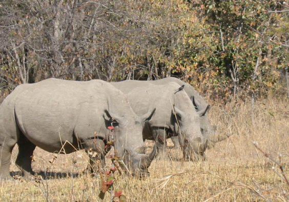 Watching over the chubby unicorns of Zimbabwe