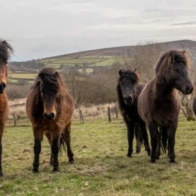 Dartmoor ponies give helping hand at RSPB headquarters