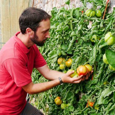 Gardener Sam checking an Atkins Stuffing tomato at Knightshayes. Photo: NT Liz Abdey