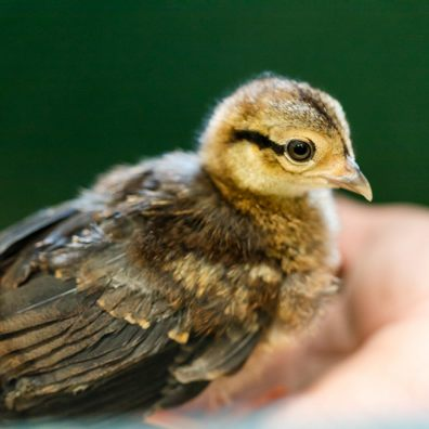 Hatching chicks (nearly) as easy as ABC