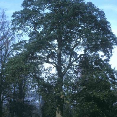Lucombe Oak, courtesy of Forestry Commission