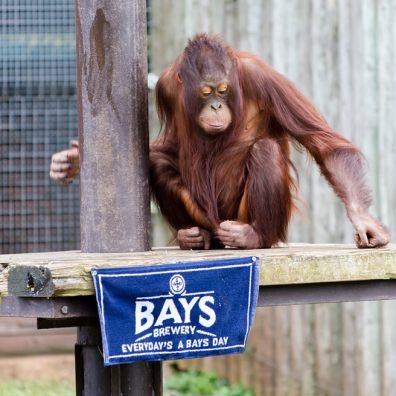 Paignton Zoo and Bays Brewery Orangutan Ale