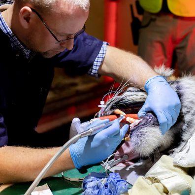 Paignton Zoo Tiger Dentistry
