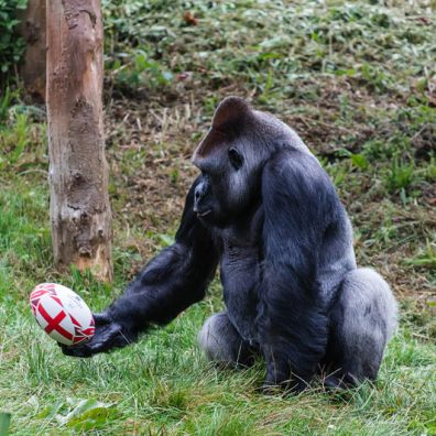 Zoo gorilla plays ball