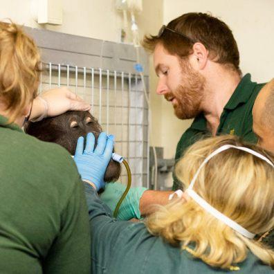 Zoo staff save sick orang utan