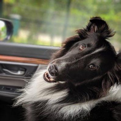 Dog looking over back shoulder in car